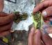 Avanza en el Senado dictamen sobre consumo de mariguana